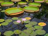 zelený a hnědý lotosový květ