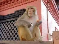 Una scimmia che mangia una carota