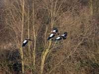 pássaro preto e branco na grama marrom durante o dia