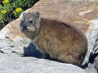 Szikla hyrax