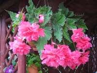 Roze geveerde begonia