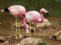 Flamingos andinos