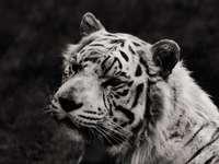 снимка в сива скала на тигър, лежащ на земята