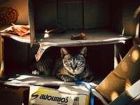 bruine Cyperse kat in kartonnen doos