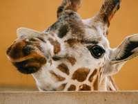 глава на жираф в снимка отблизо