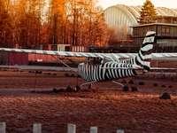 bílá a černá zebra socha na hnědé pole během dne