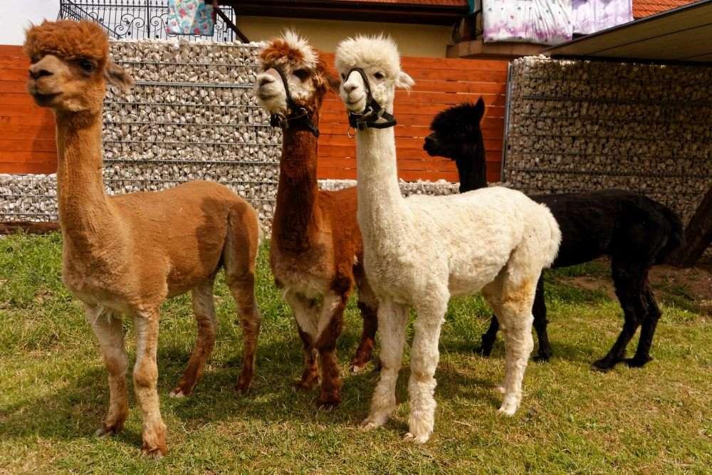alpaca en la granja - m (13×9)