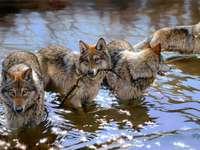 вълци ....