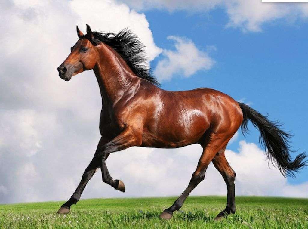 Calul nostru - cal mare animal doméstico (2×2)