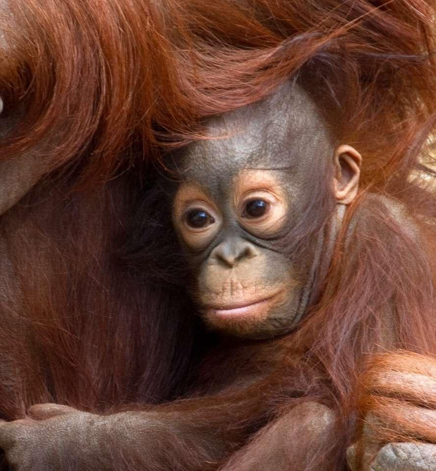 Baby orangutan - roztomilý primát (8×9)
