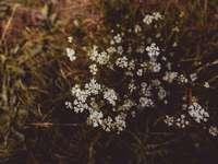 бели цветя в наклонена леща