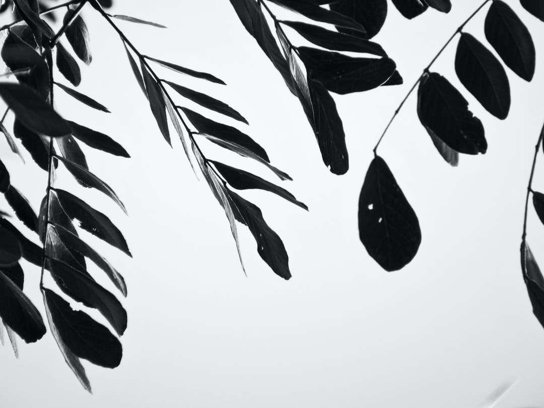fekete-fehér levelek illusztráció - Pereira, Risaralda, Kolumbia (5×4)