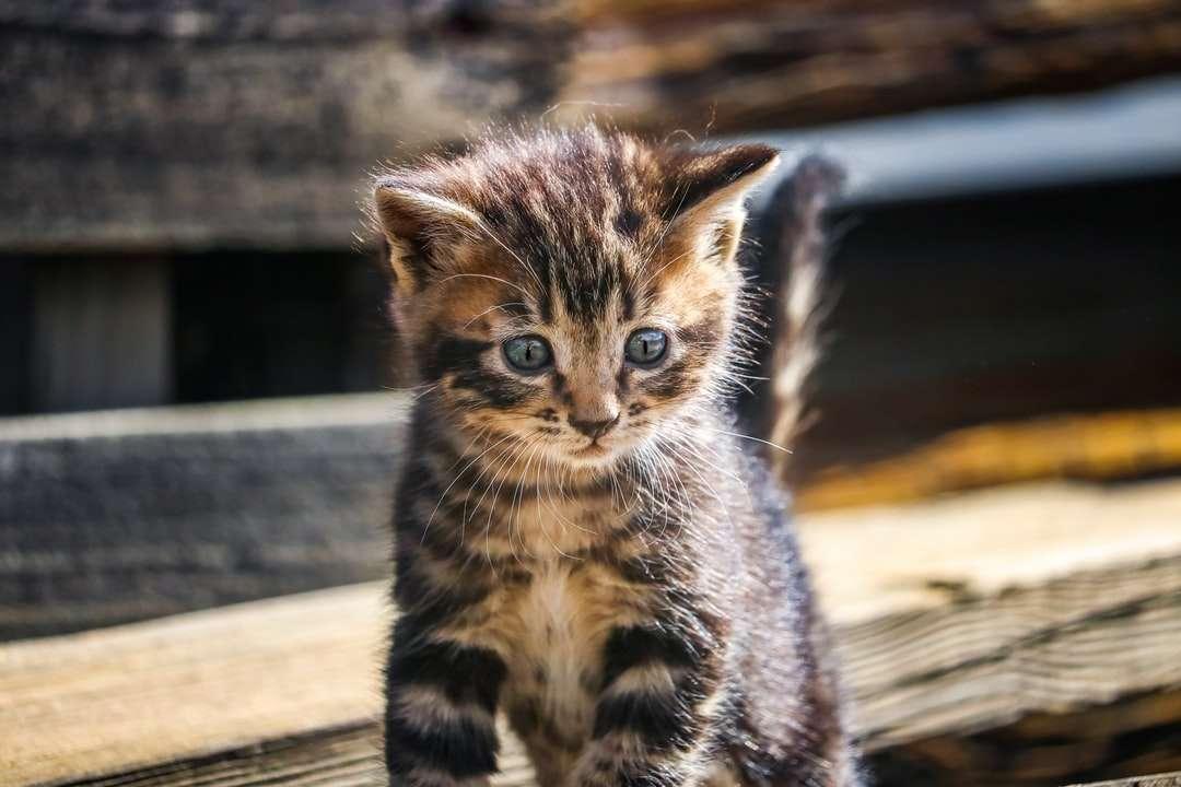 braunes getigertes Kätzchen auf braunem Holztisch