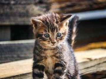 Gatito atigrado marrón sobre mesa de madera marrón
