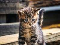 brązowy pręgowany kotek na brązowym drewnianym stole