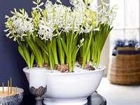 bílé hyacinty