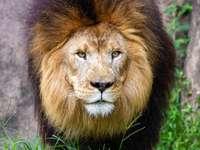 leeuw liggend op groen gras overdag
