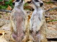 witte en bruine meerkat op bruine rots overdag