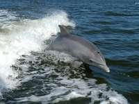 dauphin dans la mer