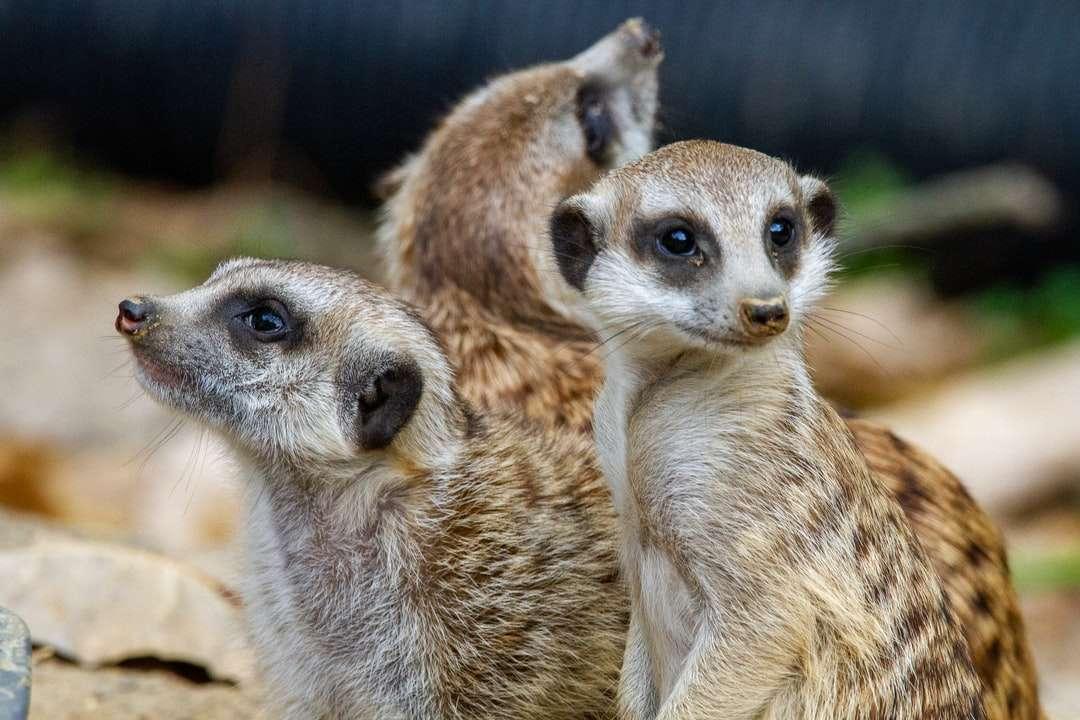 καφέ και άσπρο ζώο σε κοντινή φωτογραφία - Ένα τρίο meerkats φρουρεί παντού στο ζωολογικό κήπο του Μέμφις. Memphis Zoo, Prentiss Place, Memphis, TN, ΗΠΑ (6×4)