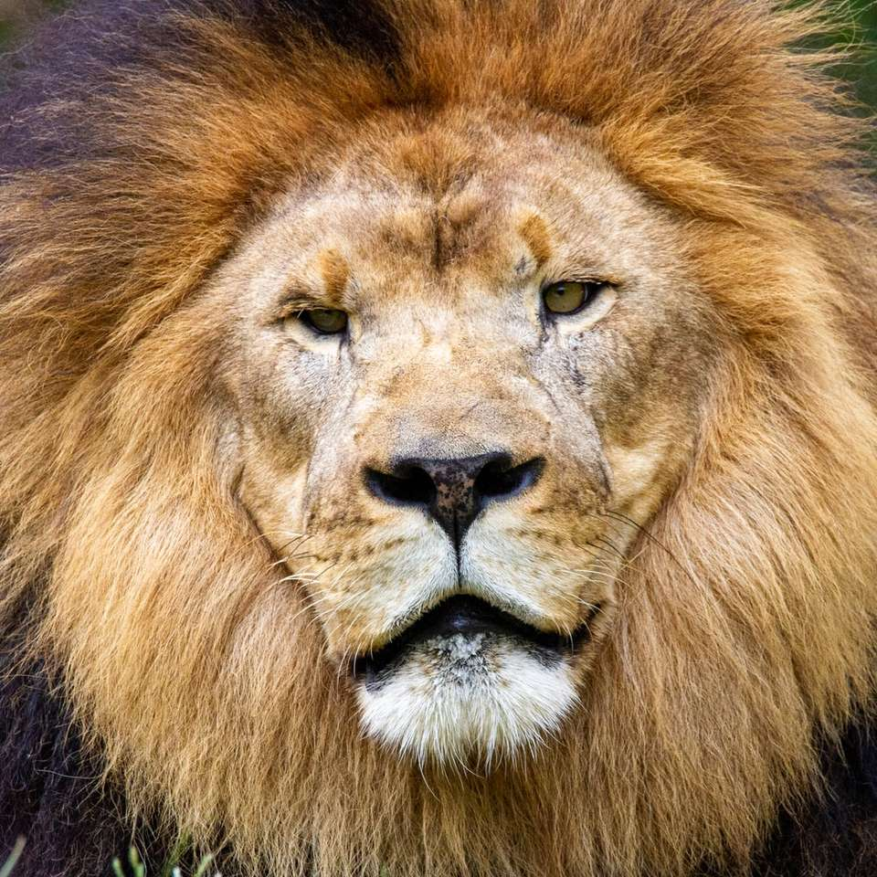 λιοντάρι που βρίσκεται στο πράσινο γρασίδι - Ένα λιοντάρι κοιτάζει κάτω στο ζωολογικό κήπο του Μέμφις. Memphis Zoo, Prentiss Place, Memphis, TN, ΗΠΑ (14×14)