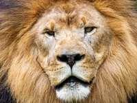 λιοντάρι που βρίσκεται στο πράσινο γρασίδι