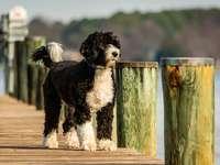 μαύρο και άσπρο μακρύ ντυμένο σκυλί σε καφέ ξύλινο φράχτη