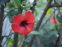 hibiscus rouge en fleur pendant la journée