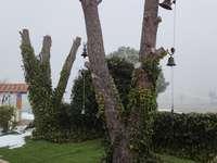 Hiedra sobre troncos con campanas.