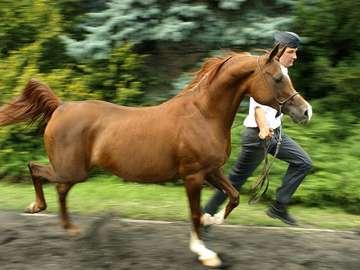 Kwestura (égua)