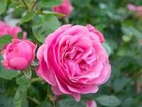 английска роза