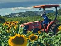 Tracteur rouge sur champ de tournesol pendant la journée