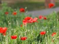 rote Blumen auf grüner Wiese während des Tages