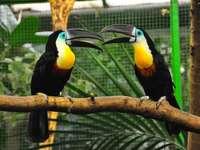 deux toucans sur une branche