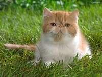 βρετανικό γατάκι στο γρασίδι