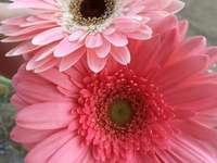 roze gerbera's