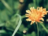 жълто цвете в наклонена леща