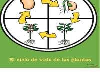 växttillväxtcykel