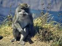 maimuță în Indonezia
