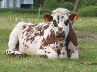krowa normańska