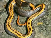 Serpente dal ventre giallo