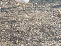 Anka-fjäderfä