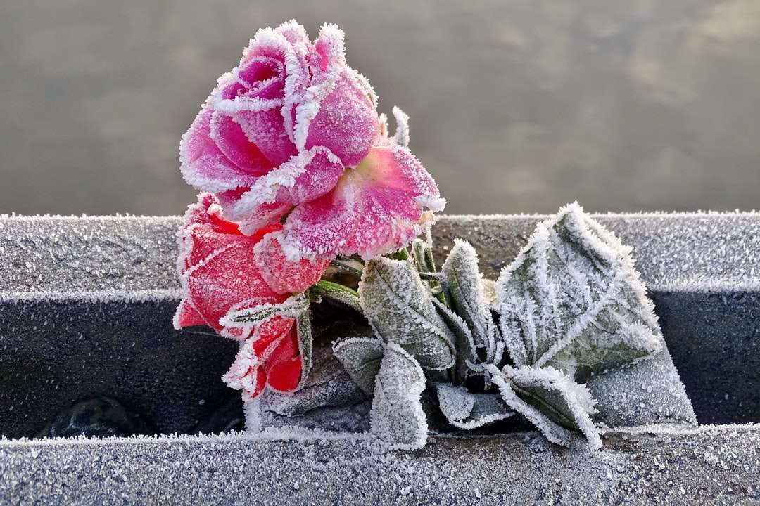 pink rose in black pot - A pink rose remembering a loved one is perfectly frozen by nature    . Christchurch, UK (4×3)