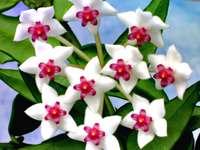 цвете хоя