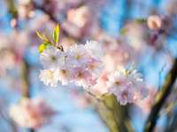 biały i różowy kwiat wiśni w fotografii z bliska