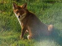 Zorro marrón en el campo de hierba verde durante el día
