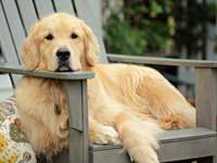 golden retriever puppy on grey wooden fence during daytime