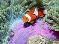 błazenek, rafa koralowa