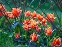 czerwone tulipany kwitną w ciągu dnia