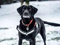 Labrador retriever negro sobre suelo cubierto de nieve